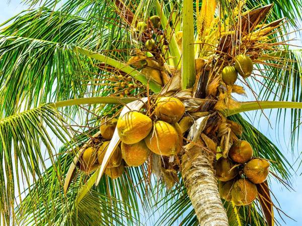 Photograph - Coconuts by Janal Koenig
