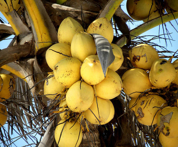 Photograph - Coconuts by Julie Palencia