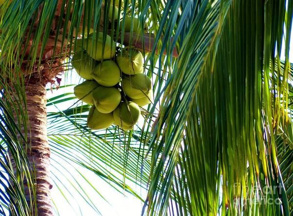 Photograph - Coconuts by Rosanne Licciardi