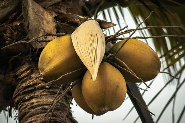 La Libertad Photograph - Coconuts by Totto Ponce
