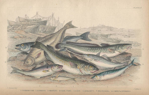 Wall Art - Drawing - Cod And Halibut by Dreyer Wildlife Print Collections