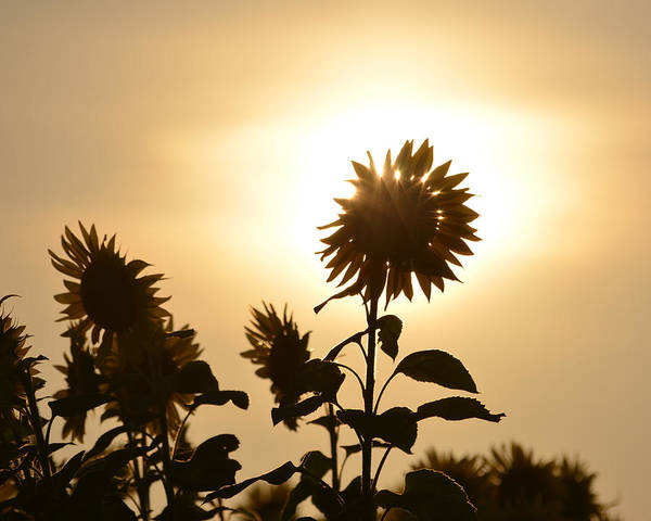 Photograph - Colby Farms Sunflower Field Newbury Ma Backlight by Toby McGuire