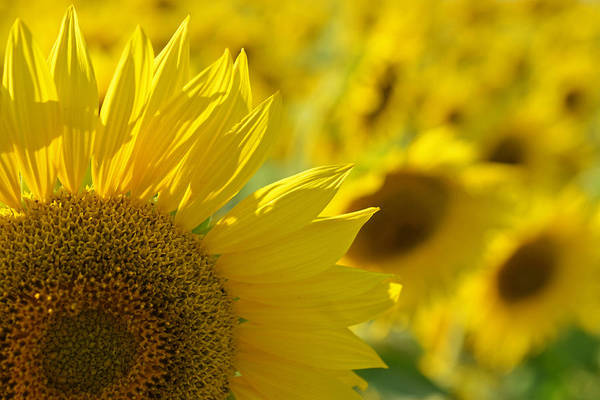 Photograph - Colby Farms Sunflower Field Newbury Ma Closeup by Toby McGuire