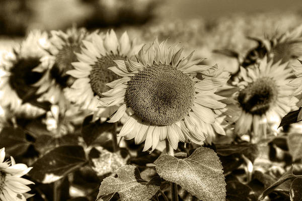 Photograph - Colby Farms Sunflower Field Newbury Ma Lineup Sepia by Toby McGuire