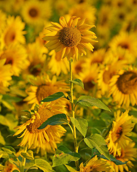 Photograph - Colby Farms Sunflower Field Newbury Ma Sunrise 2 by Toby McGuire