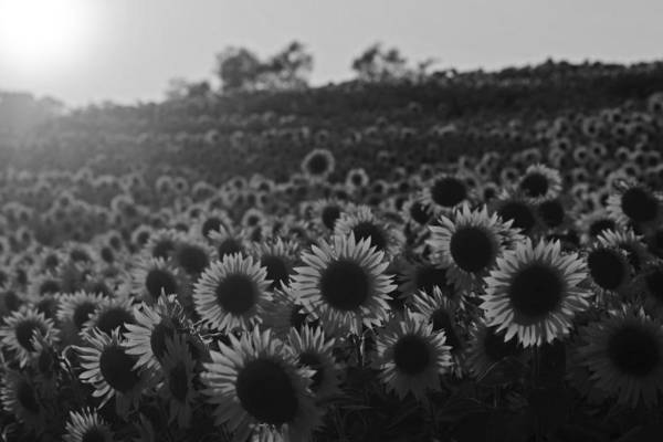 Photograph - Colby Farms Sunflower Field Newbury Ma Sunset Black And White by Toby McGuire