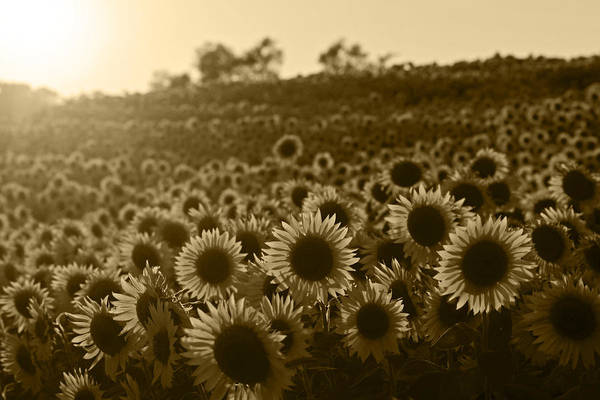 Photograph - Colby Farms Sunflower Field Newbury Ma Sunset Sepia by Toby McGuire
