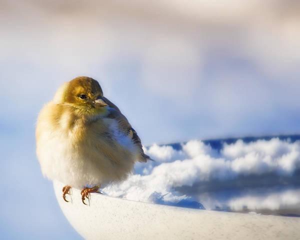 Cold American Goldfinch Art Print