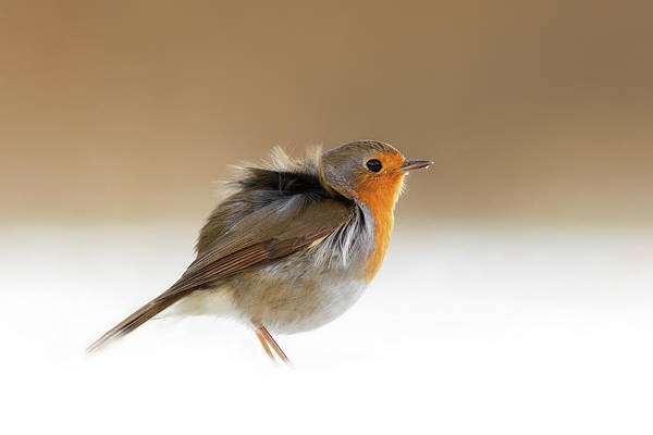 Wildfowl Photograph - Cold Feet II - Little Red Robin In The Snow by Roeselien Raimond
