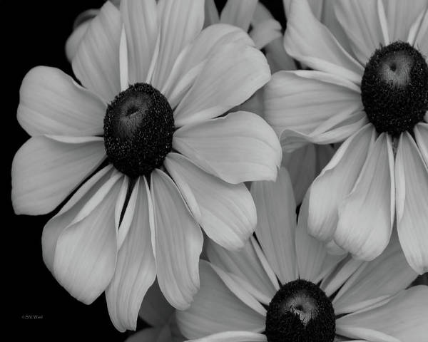 Photograph - Cold Rudbeckia 5173 Bw_2 by Steven Ward
