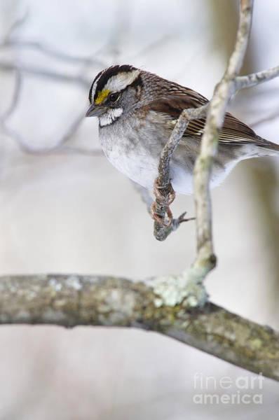 Photograph - Cold Sparrow by Thomas R Fletcher