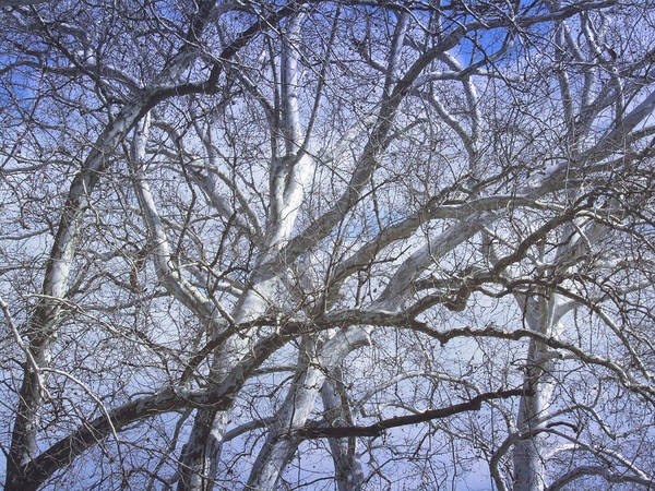 Photograph - Cold Sycamore Day by Robert Knight