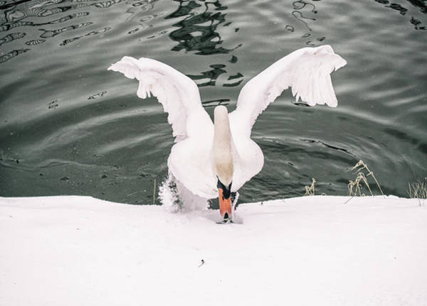 Swan Photograph - Cold Water by Martin Newman