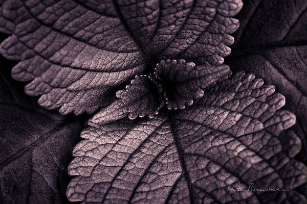 Photograph - Coleus 6001 by Dan Beauvais