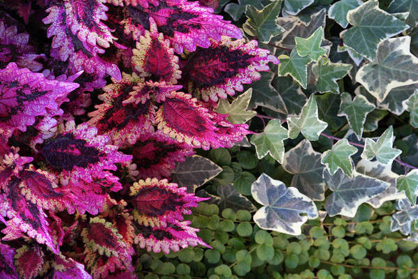 Organic Garden Wall Art - Mixed Media - Coleus And Ivy- Photo By Linda Woods by Linda Woods
