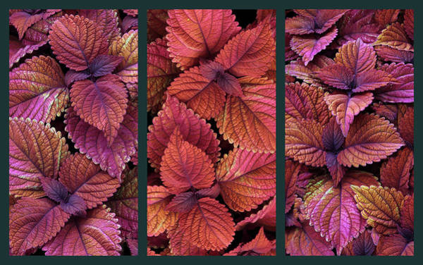Wall Art - Photograph - Coleus Collage by Jessica Jenney