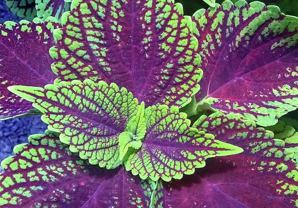 Photograph - Coleus Leaf 4 by Duane McCullough