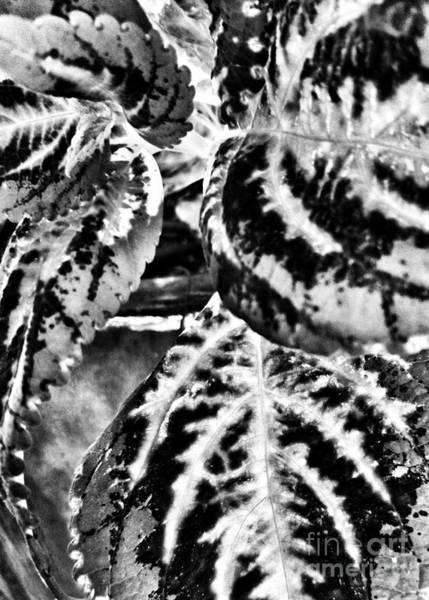 Photograph - Coleus Noir by Rachel Hannah