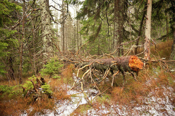 Wall Art - Photograph - Collapsed Trunk In Babia Gora by Arletta Cwalina