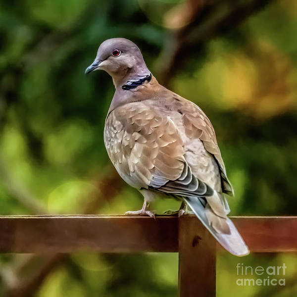 Photograph - Collared Dove by Adrian Evans