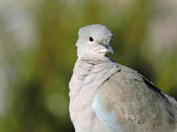 Arapahoe County Wall Art - Photograph - Collared Dove by Connor Beekman