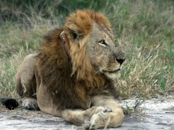 Photograph - Collared Lion by Karen Zuk Rosenblatt