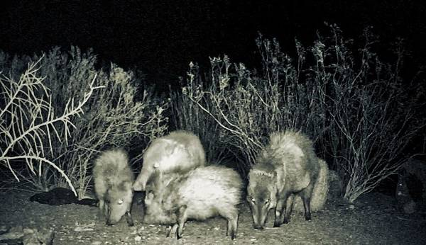 Photograph - Collared Peccary Or Javelina Herd  At Night by Judy Kennedy