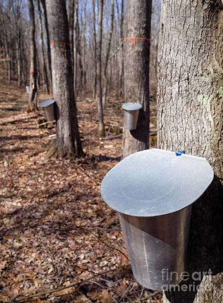 Photograph - Collecting Maple Sap In Maine  #79587 by John Bald