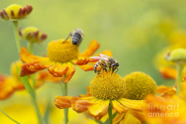Pollinator Wall Art - Photograph - Collecting Nectar by Tim Gainey