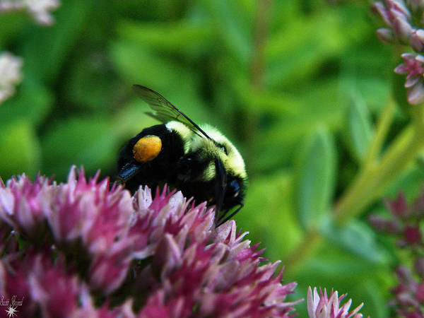 Photograph - Collecting Pollen by Scott Hovind