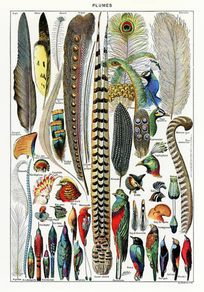 Parrot Painting - Collection Of Different Plume Types by Adolphe Millot
