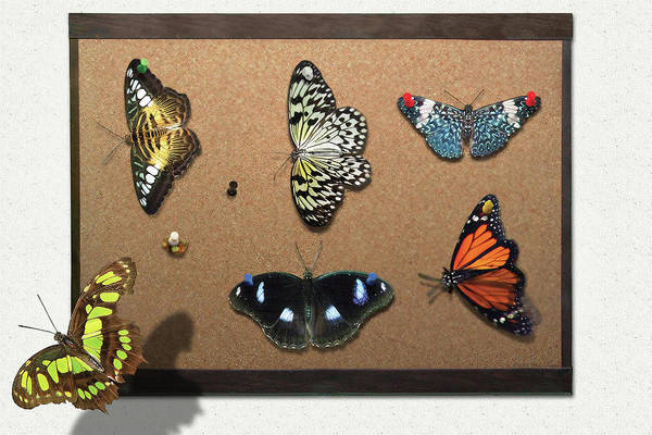 Photograph - Collector - Lepidopterist - My Butterfly Collection by Mike Savad