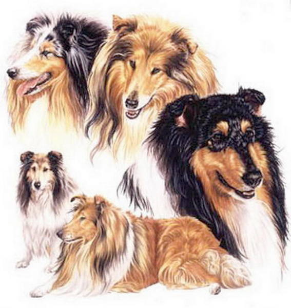 Drawing - Collie Collage by Barbara Keith