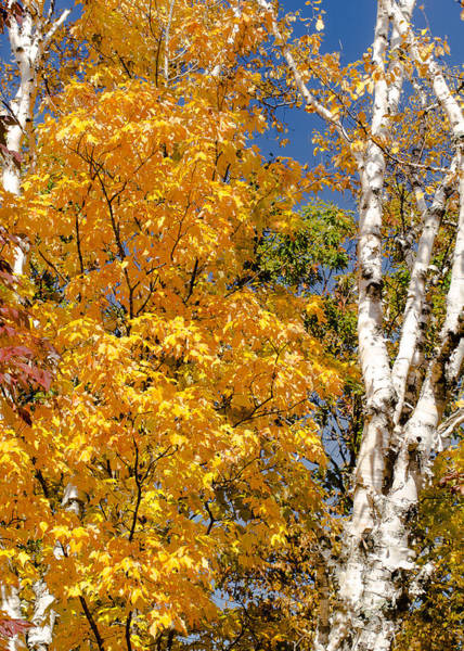 Photograph - Color In The Trees by Tom Potter