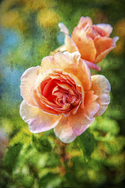 Photograph - Color Of The Rose by Barry Weiss
