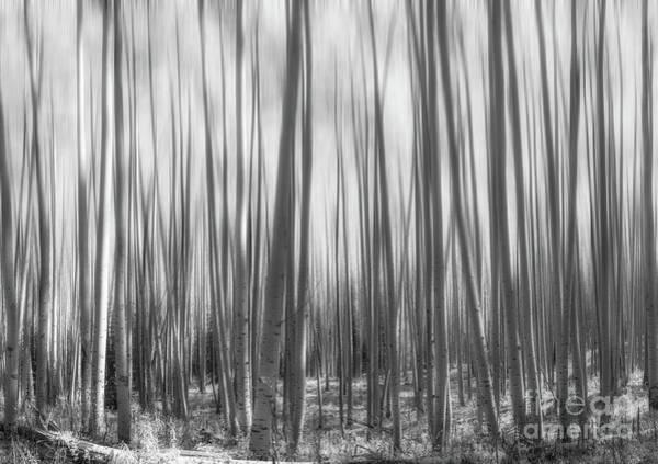 Photograph - Colorado Aspen Trees Abstract Bw by Michael Ver Sprill