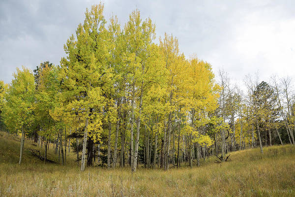 Photograph - Colorado Aspens In Autumn by Tim Newton