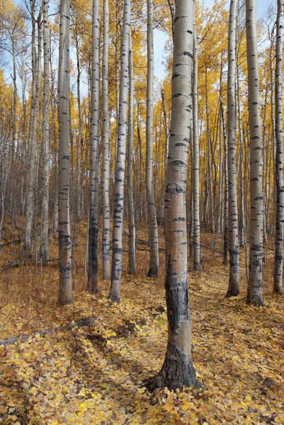 Photograph - Colorado Autumn Aspen Grove by Cascade Colors