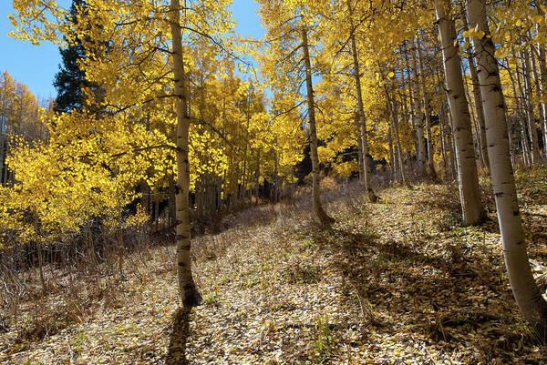 Photograph - Colorado Autumn Aspen With Sun And Shadows by Cascade Colors