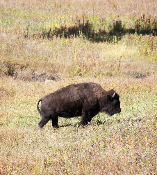 Wall Art - Photograph - Colorado Bison by Marilyn Hunt