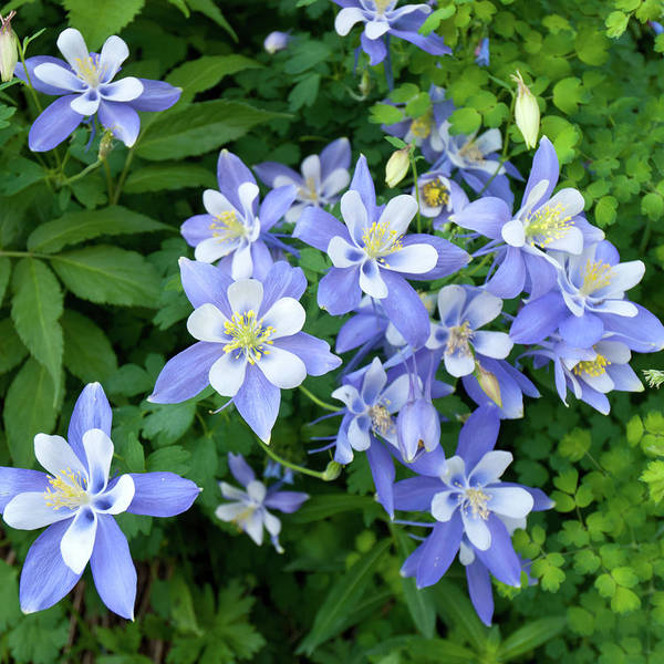Photograph - Colorado Blue Columbine Bouquet by Cascade Colors