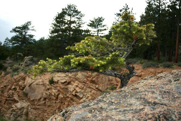 Photograph - Colorado Bonsai by David Dunham