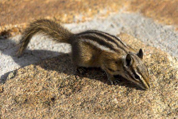 Photograph - Colorado Chipmunk by Lynn Palmer