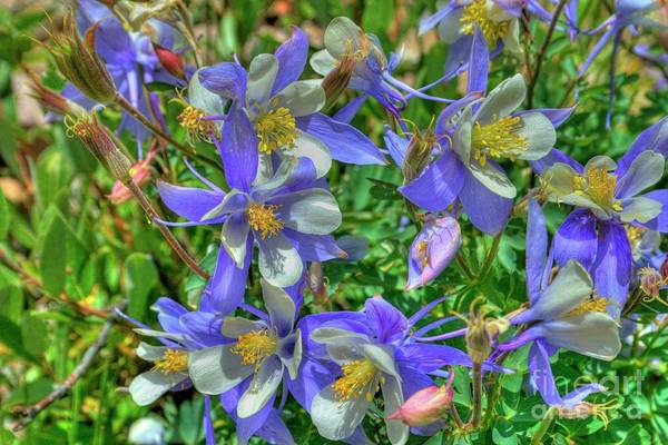 Photograph - Colorado Columbines by Tony Baca