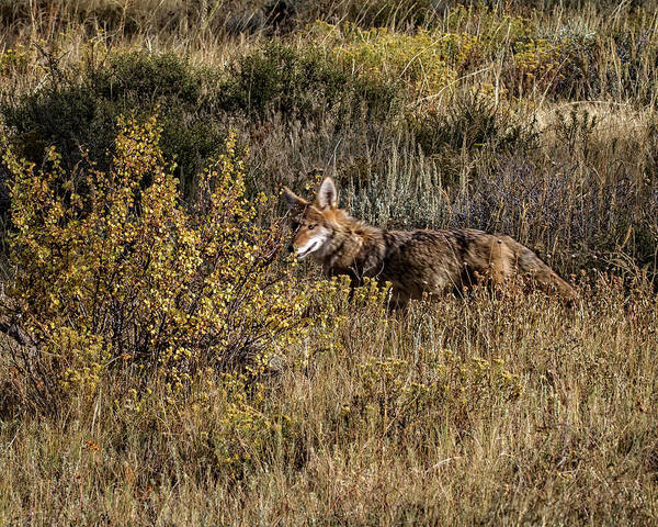 Photograph - Colorado Coyote by Ronald Lutz