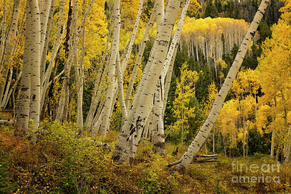 Wall Art - Photograph - Colorado Fall Aspen Grove by Ronda Kimbrow