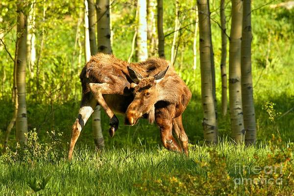 Photograph - Colorado Rockies Moose by Adam Jewell