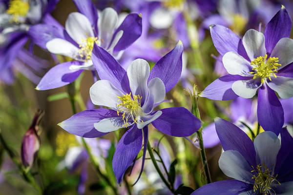Photograph - Colorado State Flower Blue Columbines by Teri Virbickis