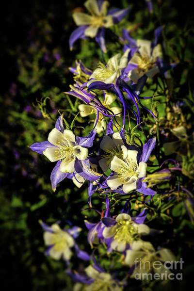 Photograph - Colorado State Flower by Jon Burch Photography