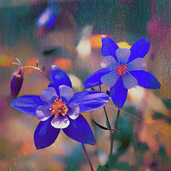 Digital Art - Colorado State Flower by OLena Art - Lena Owens